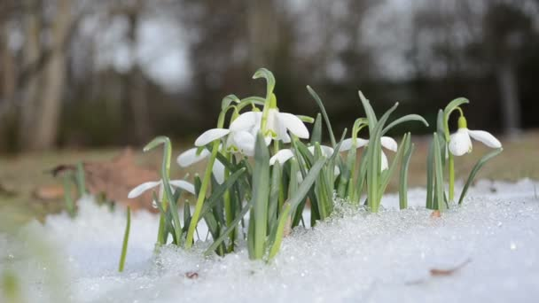 first pring snowdrop snowflake flowers in snow move wind