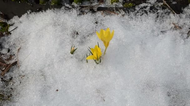 Šafrán crocus sníh