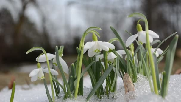 First white spring snowdrop snowflake flowers in snow move wind
