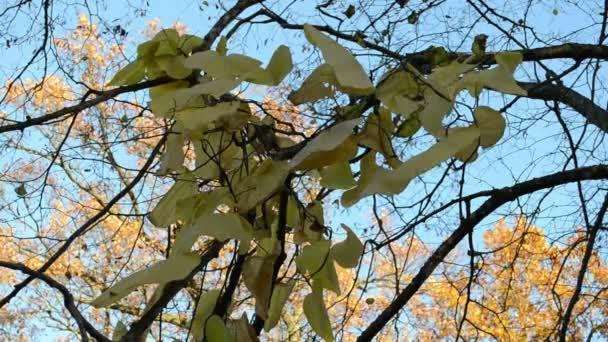 Creeper leaf oak tree