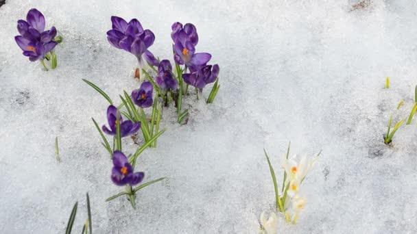rukou vytáhnout crocus květ