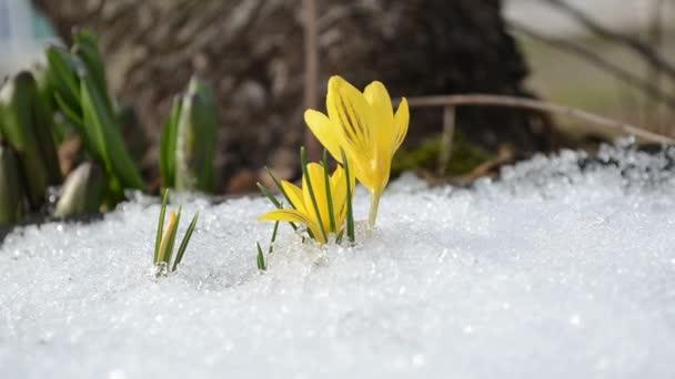 Crocus yellow bloom snow