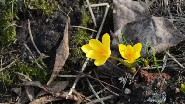 closeup šafrán crocus květ květ na jaře