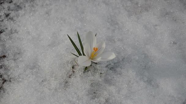 Saffron crocus white bloom closeup first spring flowers snow stock saffron crocus white bloom closeup first spring flowers snow stock video mightylinksfo