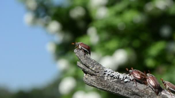 maybug oszlop
