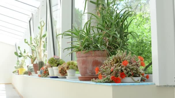 wassernapf Kaktus-can