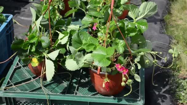 Strawberry bloom pot