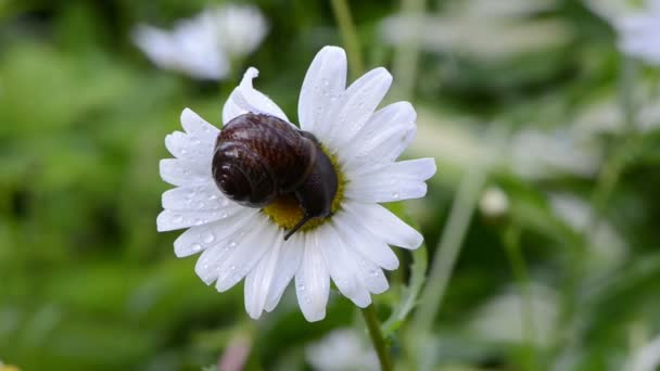 Snail daisy flower center