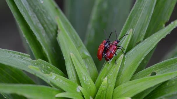 rovar bogár párzás harmat