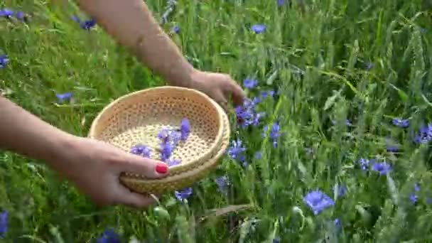 Hand pick cornflower herb