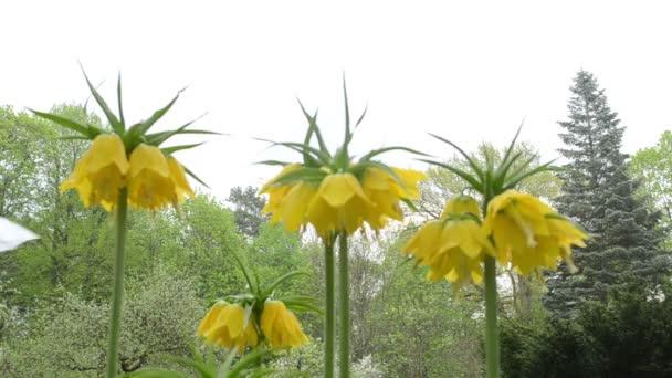 fritillary Jarní květina
