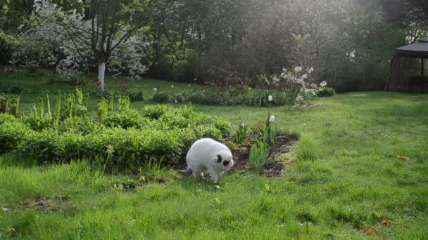 bílá kočka jíst trávu Rosa