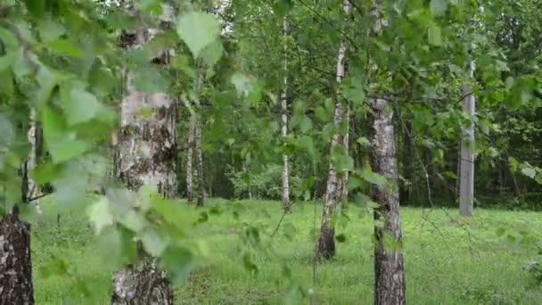 Birch tree branch trunk