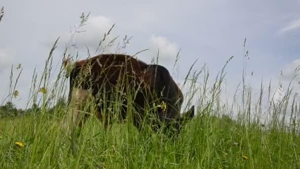 Bull graze grass gadfly