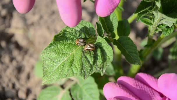 Hand catch beetle