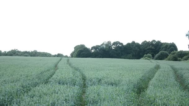 Tractor marks wheat field