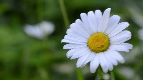 Dewy daisy flower bloom