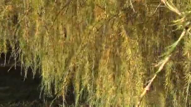 modřín větve ostny