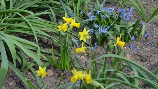 Narcissus flower move