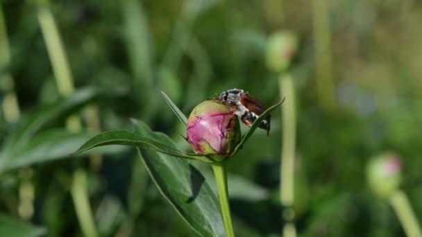 Käfer Pfingstrose Knospe