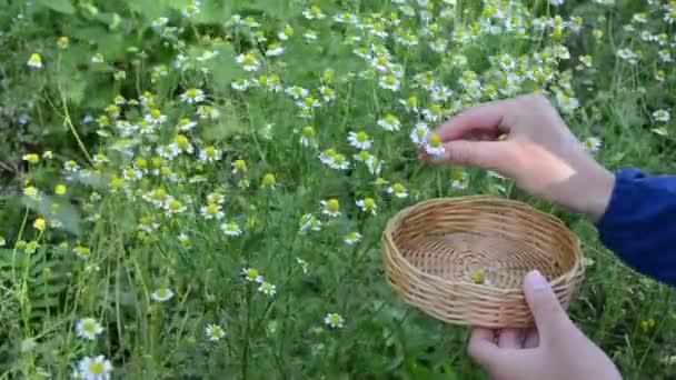 Herbalist hand chamomile
