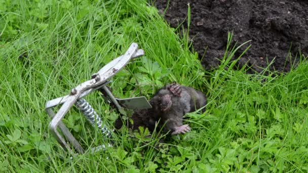 zvířecí pasti mrtvý krtek