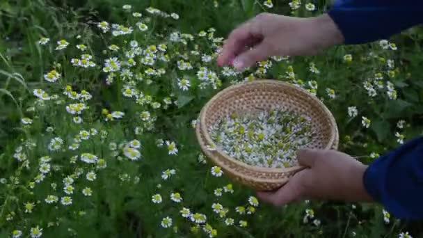 Hand camomile herb pick