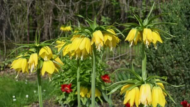 Fritillary spring flower