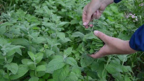 zahradník ruka list máty