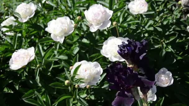 Spring flower iris