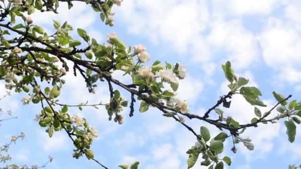 Apple tree twig bloom