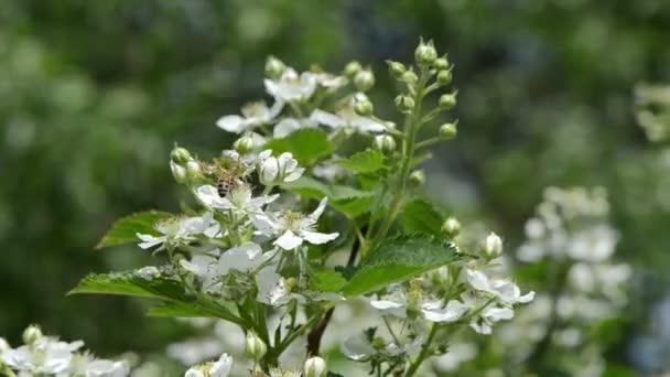 včely bush bílý květ