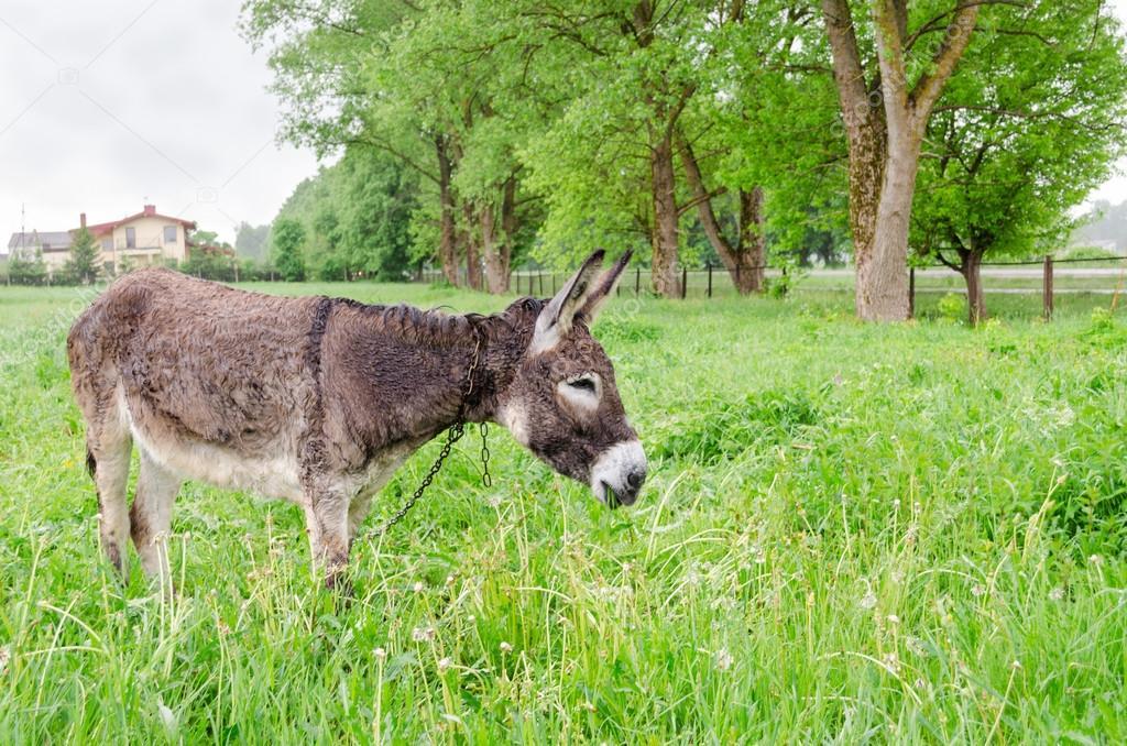 Cute wet donkey animal graze in pasture grass