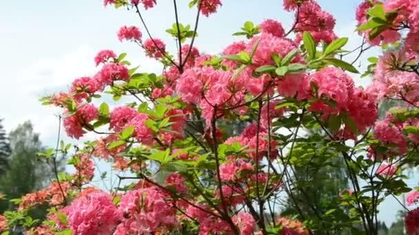 rózsaszín rhododendron virág virágzik és homályos emberek
