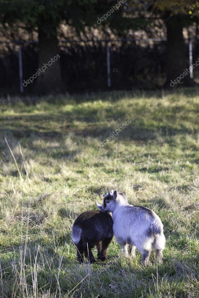 Young pygmy goats in the grass.