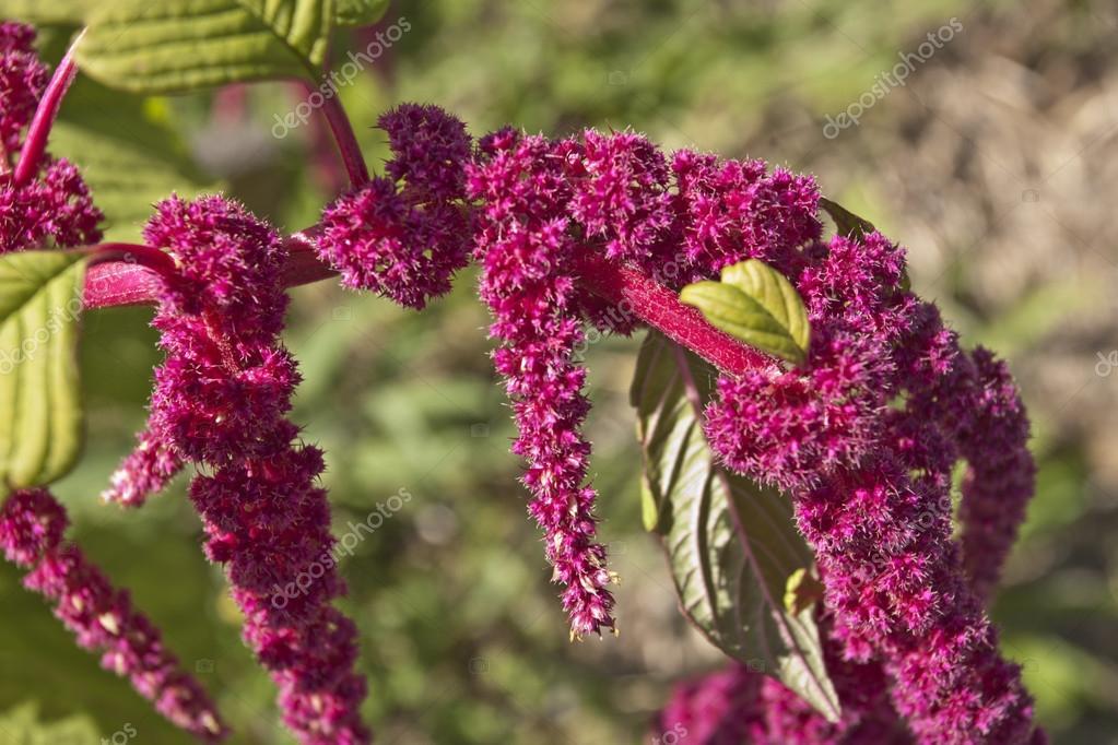 Amaranths flowers