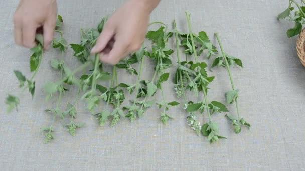 Citromfű gyógynövények a vászon ronggyal