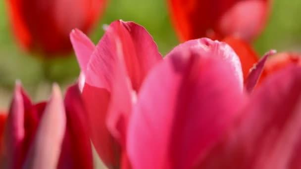 rozostření pozadí barvy jara tulipány