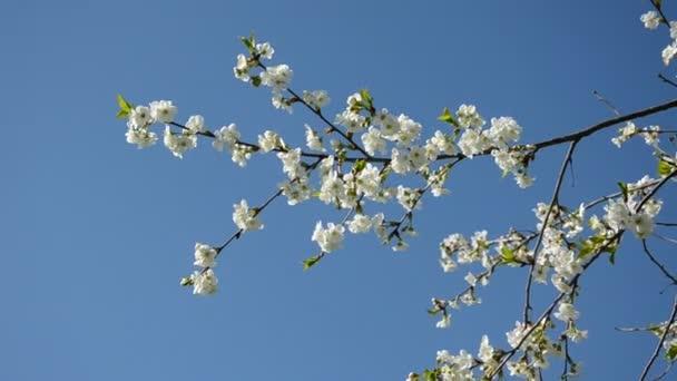 Tavaszi cseresznye virágzó ága ég