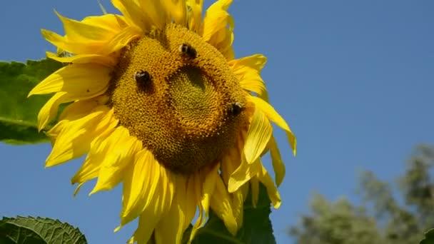 Slunečnice s čmelák a vítr