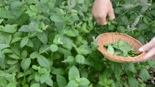 utrhnout čerstvé lékařské byliny máta v zahradě