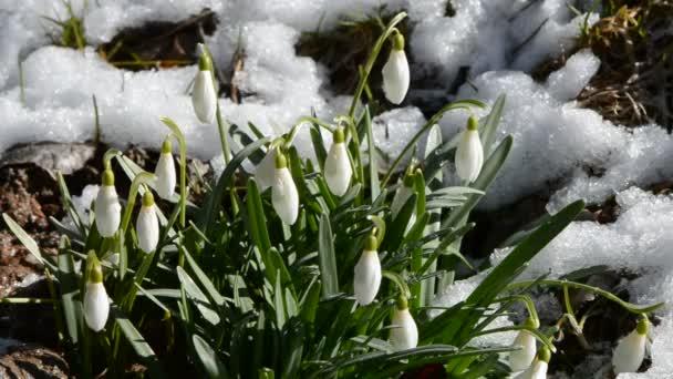 jarní sněženky se sněhem