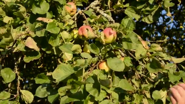 Picking fresh apple from tree