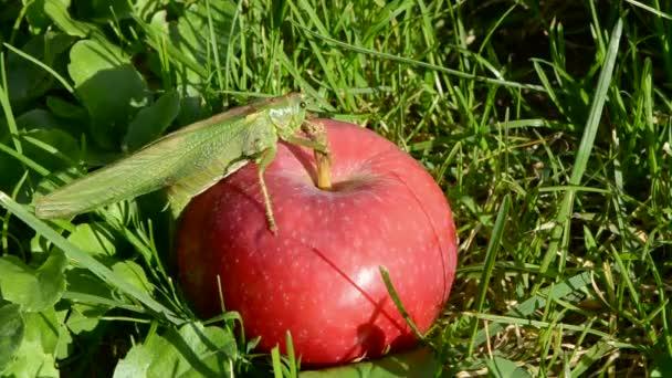 A piros Alma zöld szöcske