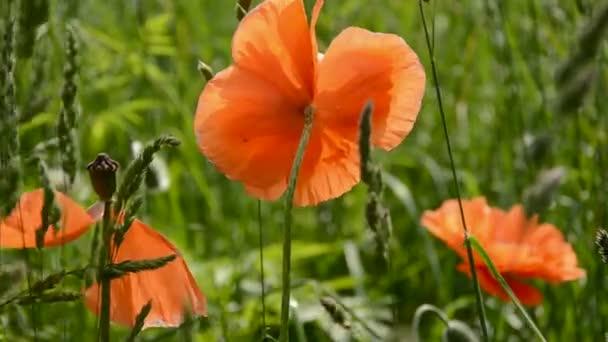 Mák nyári virágok és a szél