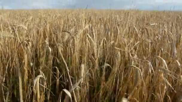 vítr v létě konec obilí
