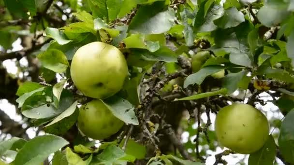 Picking fresh fruit from apple tree