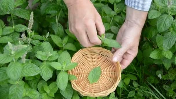 škubání čerstvé lékařské byliny máta v zahradě