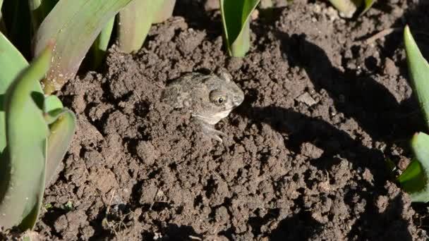 Frosch Pelobates Fuscus Graben Graben