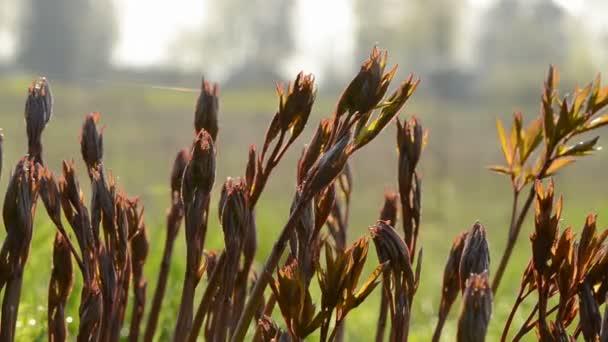 Spring peonies buds in morning